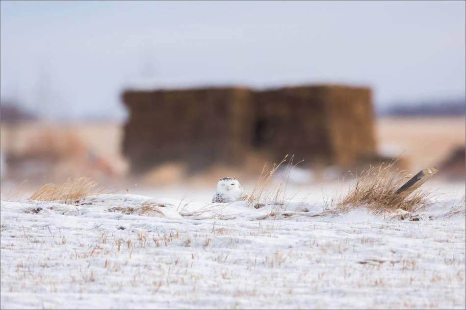a-snowy-owl-christopher-martin-6355