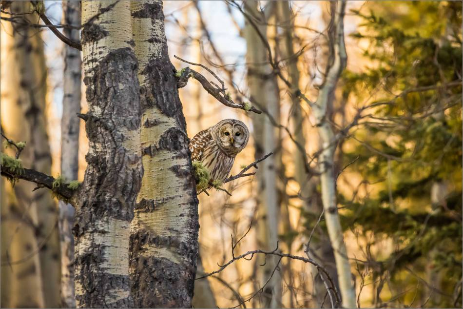 barred-owl-in-bragg-creek-christopher-martin-0908