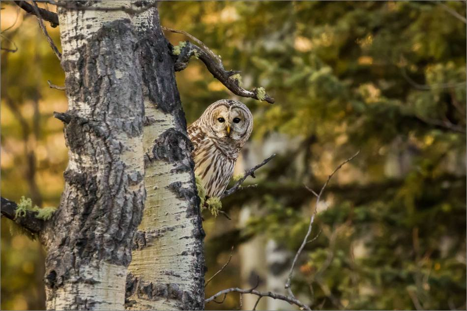 barred-owl-in-bragg-creek-christopher-martin-0919