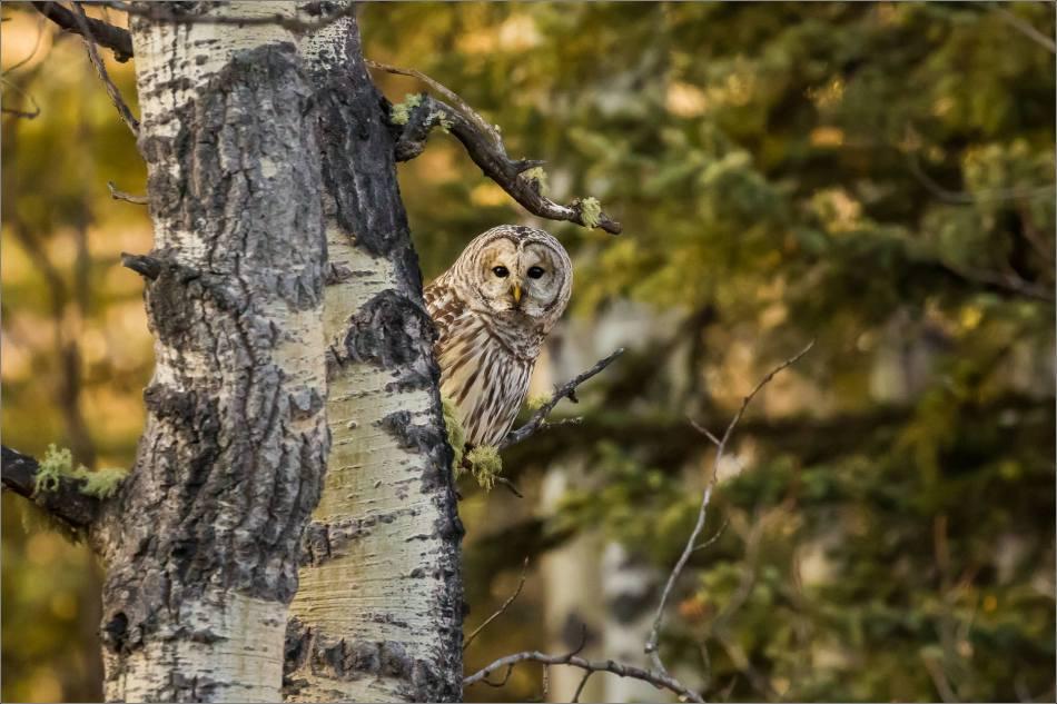 barred-owl-in-bragg-creek-christopher-martin-0919
