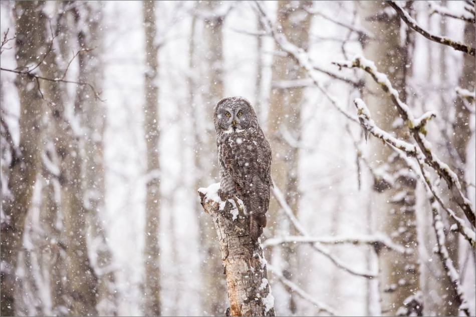 Great gray owl hunting in a snowstorm - © Christopher Martin-4954