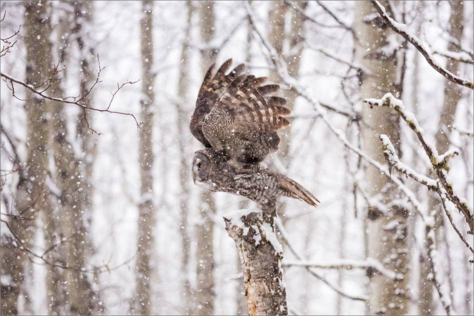 Great gray owl hunting in a snowstorm - © Christopher Martin-4968