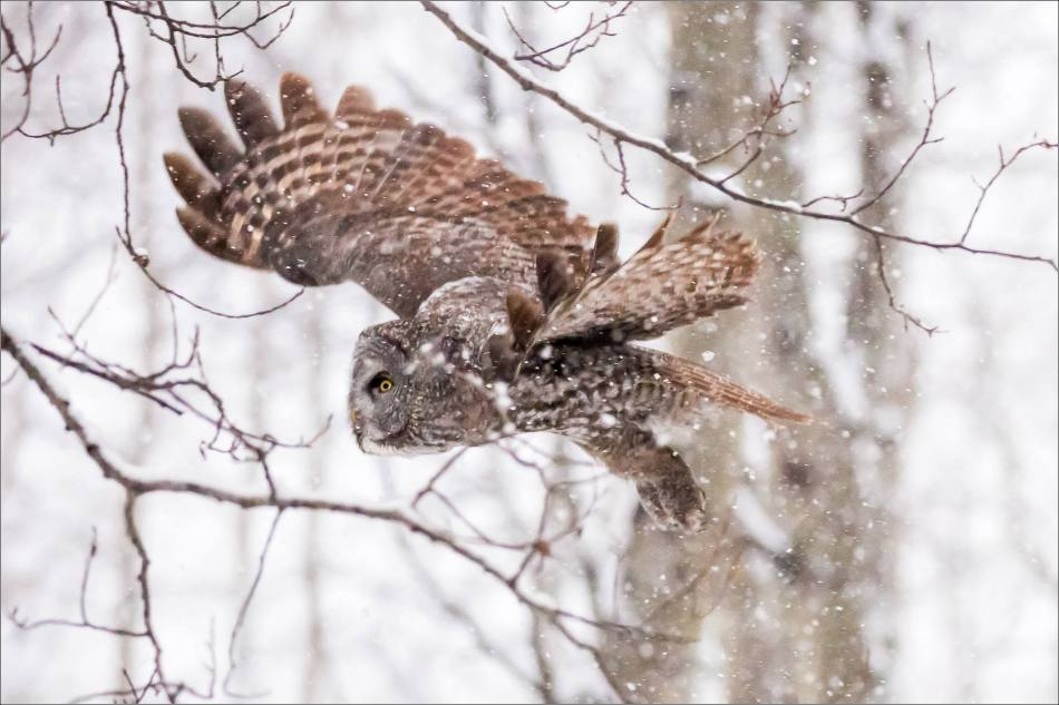 Great gray owl hunting in a snowstorm - © Christopher Martin-4970