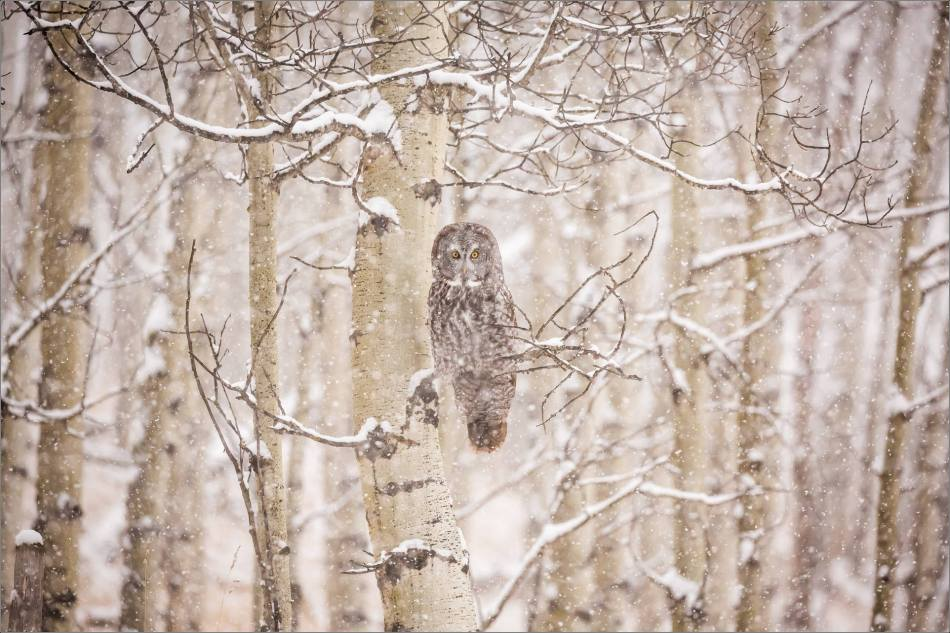 Great gray owl hunting in a snowstorm - © Christopher Martin-5066