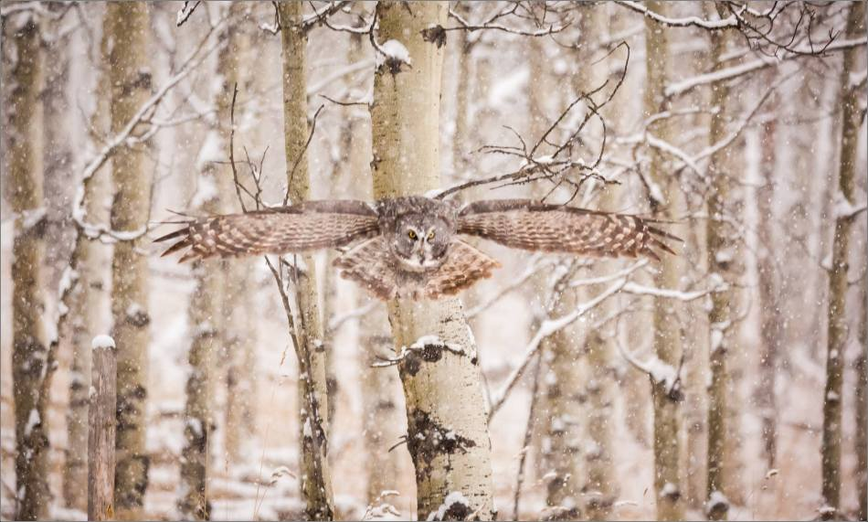 Great gray owl hunting in a snowstorm - © Christopher Martin-5076