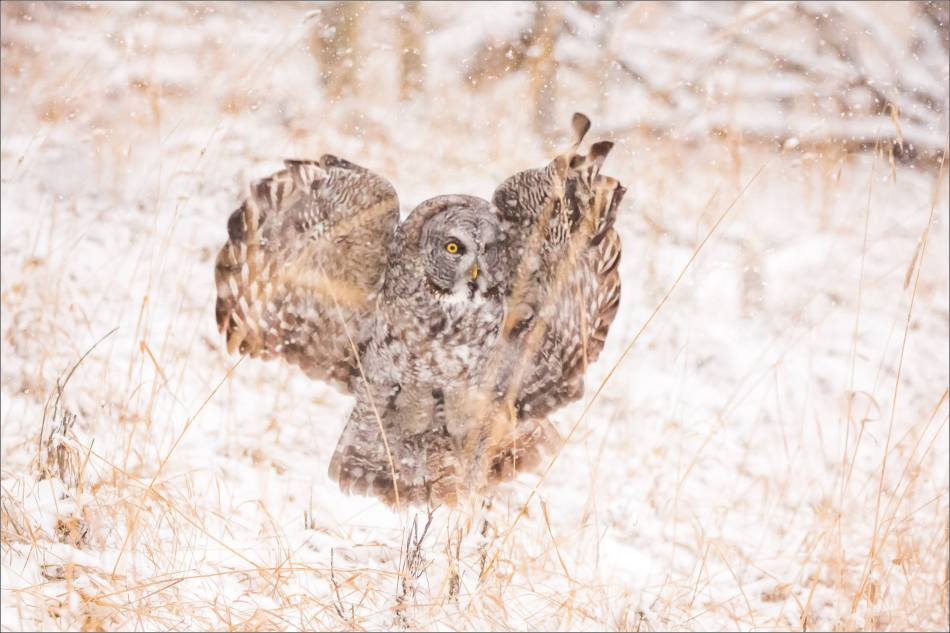 Great gray owl hunting in a snowstorm - © Christopher Martin-5092