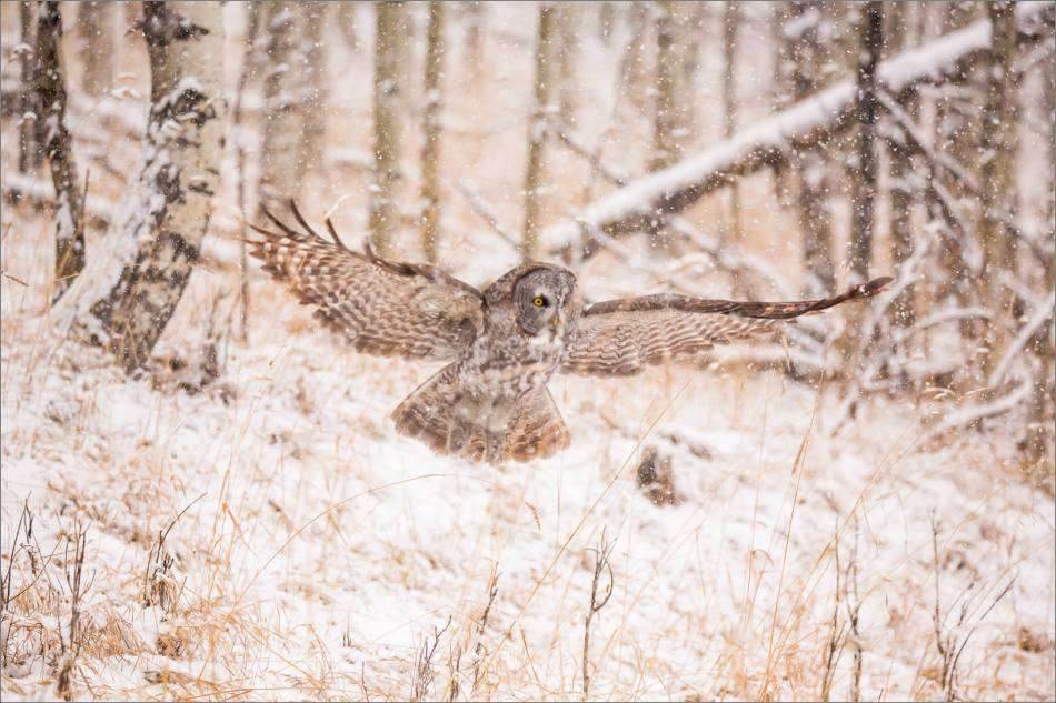 Great gray owl hunting in a snowstorm - © Christopher Martin-5093