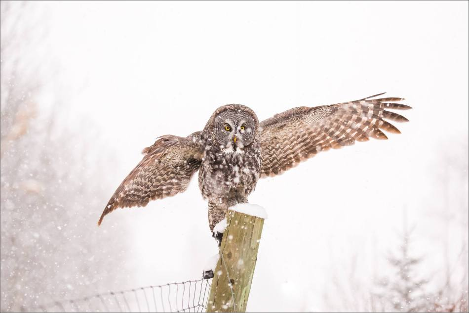 Great gray owl hunting in a snowstorm - © Christopher Martin-5103