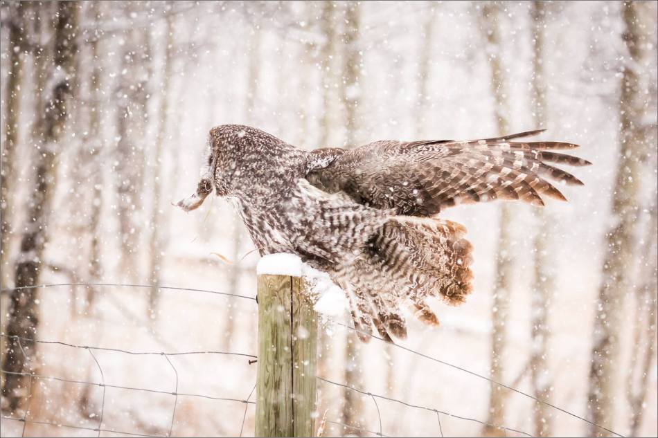 Great gray owl hunting in a snowstorm - © Christopher Martin-5125
