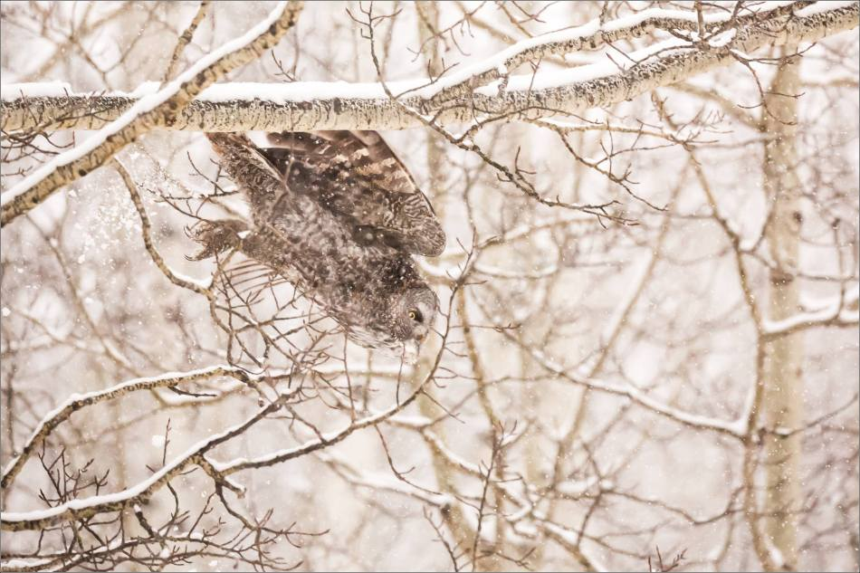 Great gray owl hunting in a snowstorm - © Christopher Martin-5156