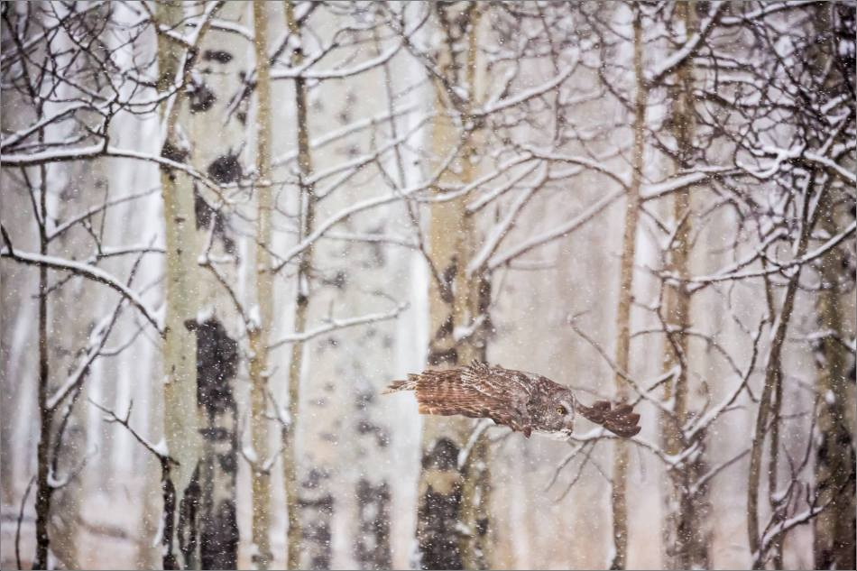 Great gray owl hunting in a snowstorm - © Christopher Martin-5159