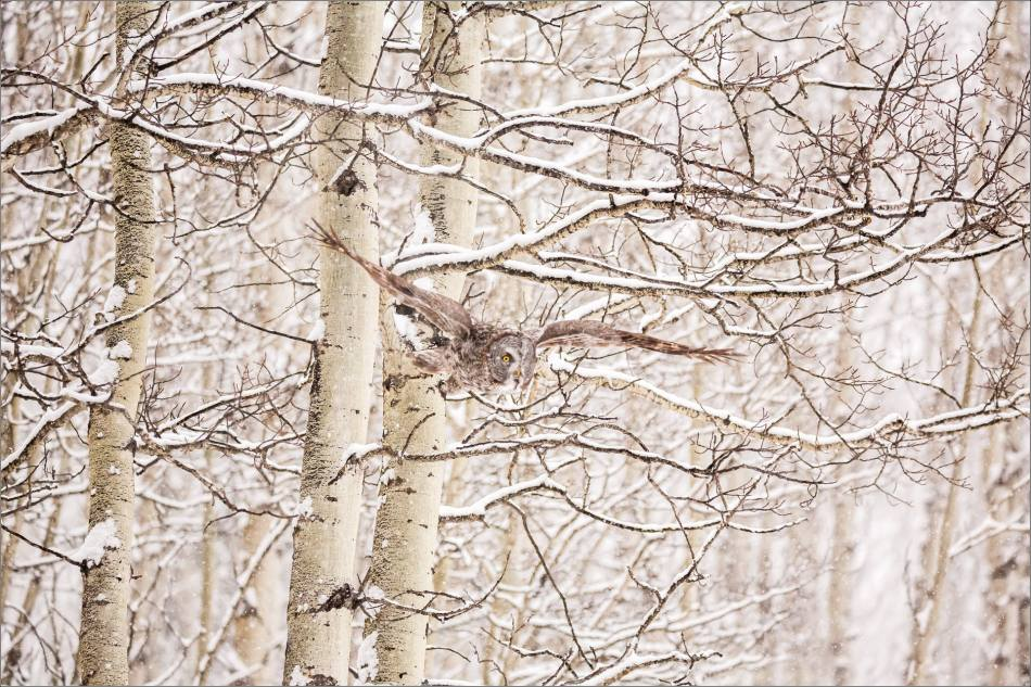 Great gray owl hunting in a snowstorm - © Christopher Martin-5215
