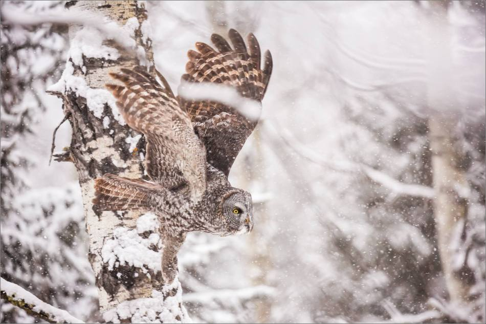 Great gray owl hunting in a snowstorm - © Christopher Martin-5244