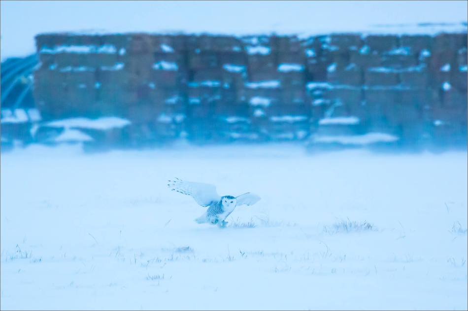 overcast-snowy-owl-flight-christopher-martin-7636