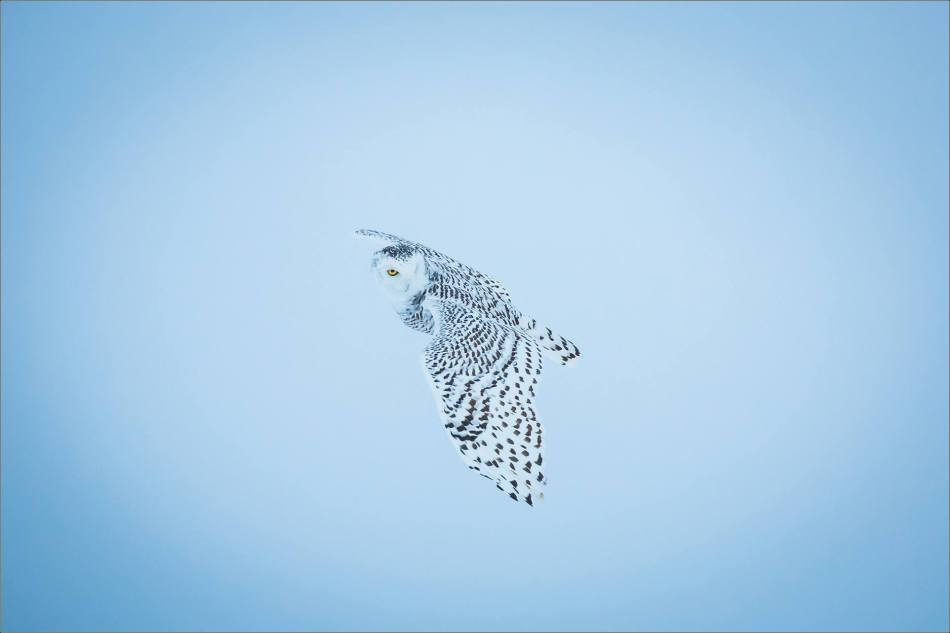 overcast-snowy-owl-flight-christopher-martin-7694