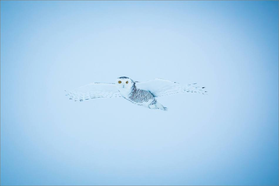 overcast-snowy-owl-flight-christopher-martin-7708