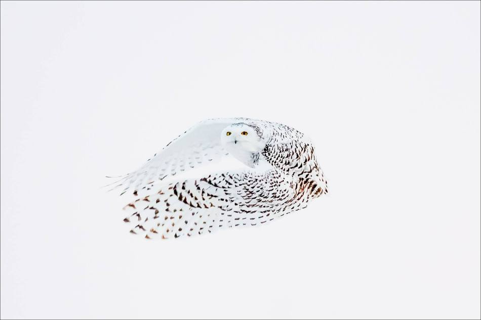 snowy-owl-in-flight-christopher-martin-8802