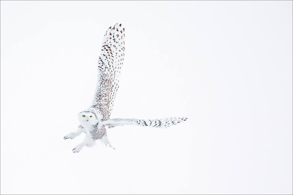 snowy-owl-in-flight-christopher-martin-8803