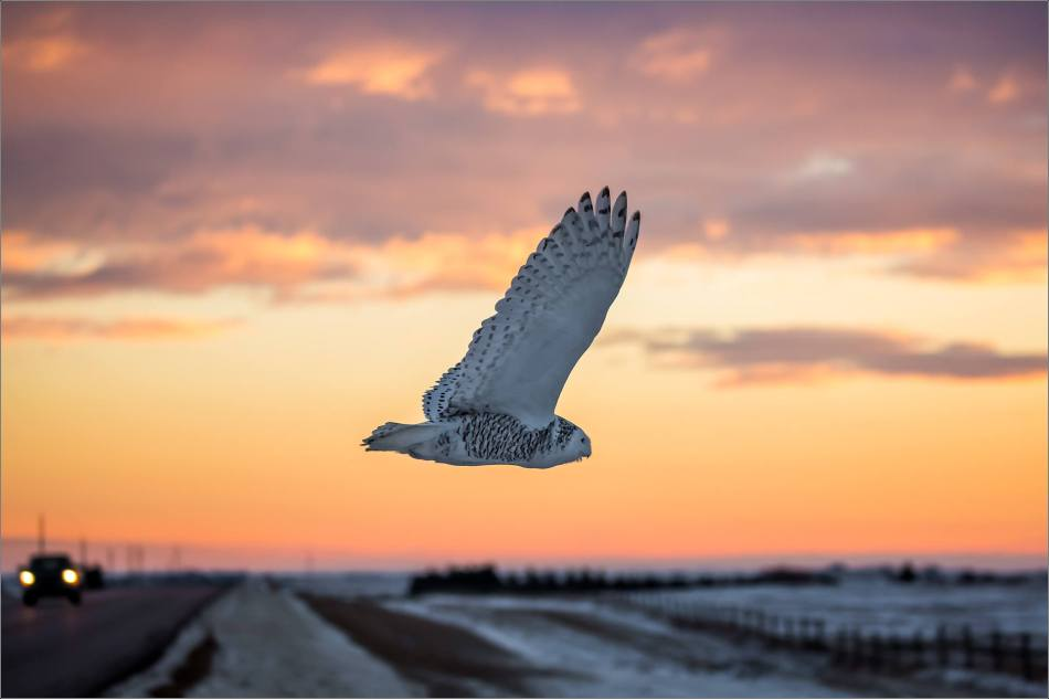 snowy-owl-in-flight-christopher-martin-8815-2