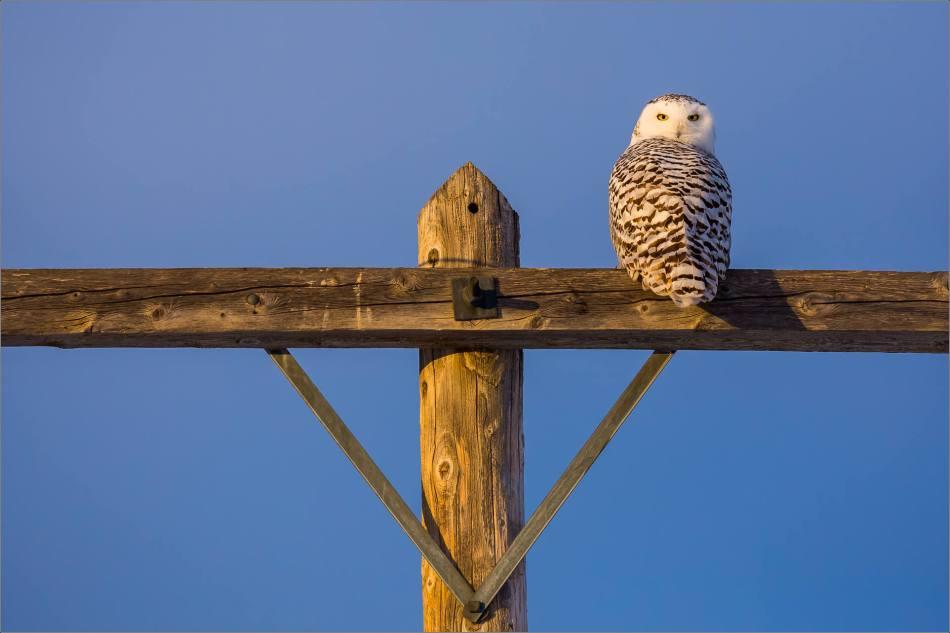 snowy-owl-in-flight-christopher-martin-8928