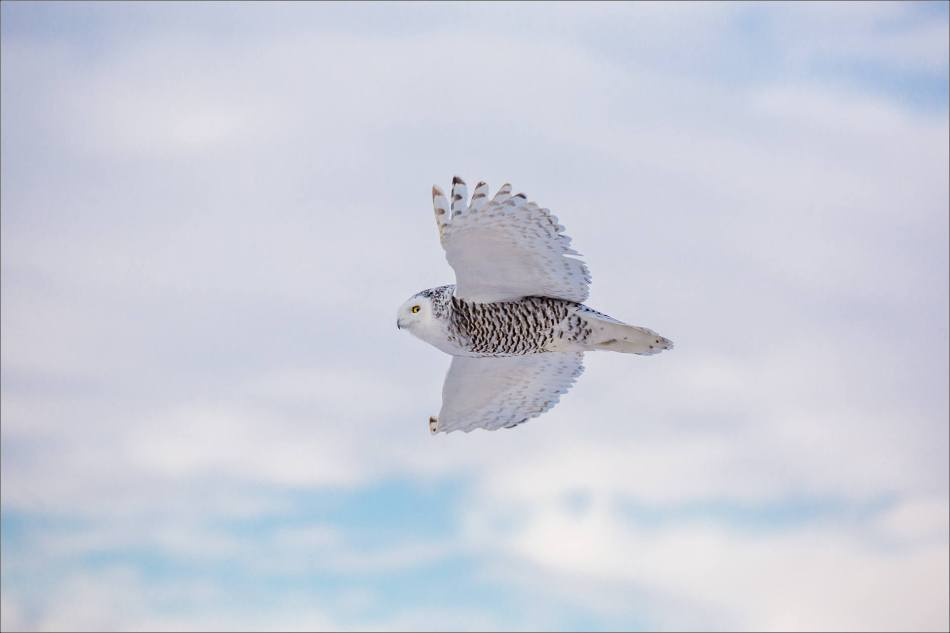 snowy-owl-in-flight-christopher-martin-9145