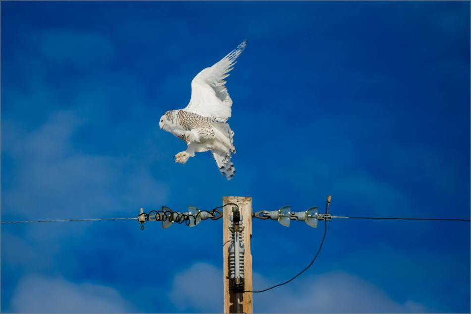 snowy-owl-in-flight-christopher-martin-9379