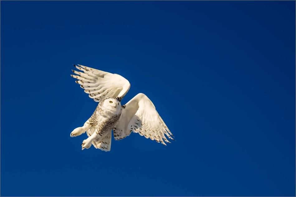 snowy-owl-in-flight-christopher-martin-9529
