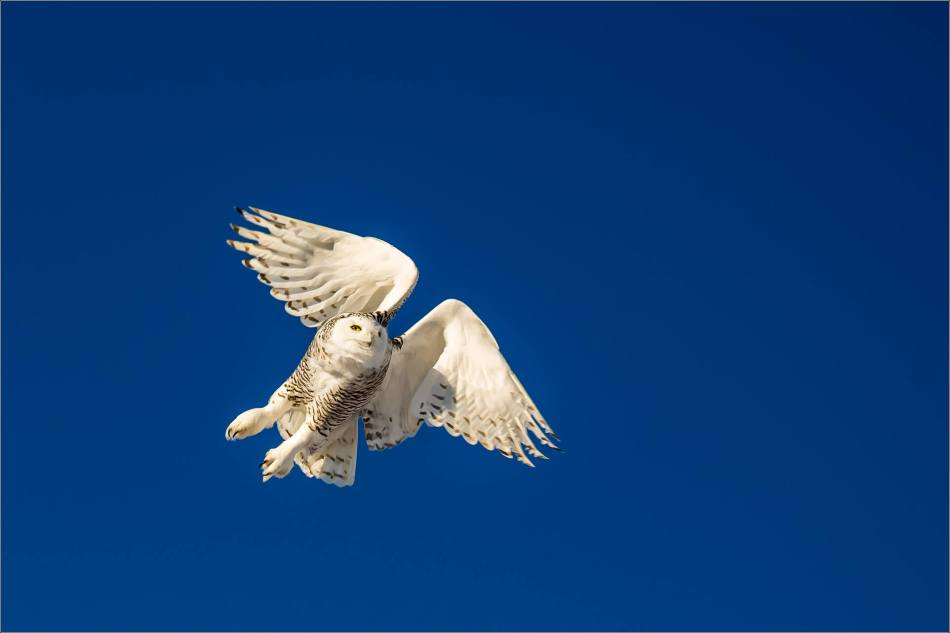 snowy-owl-in-flight-christopher-martin-9529