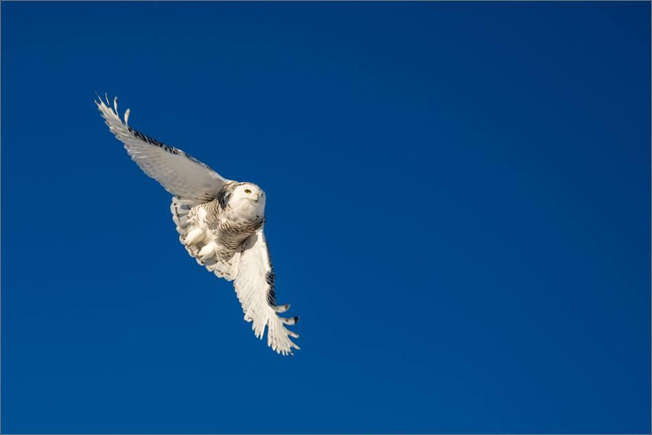 snowy-owl-in-flight-christopher-martin-9530
