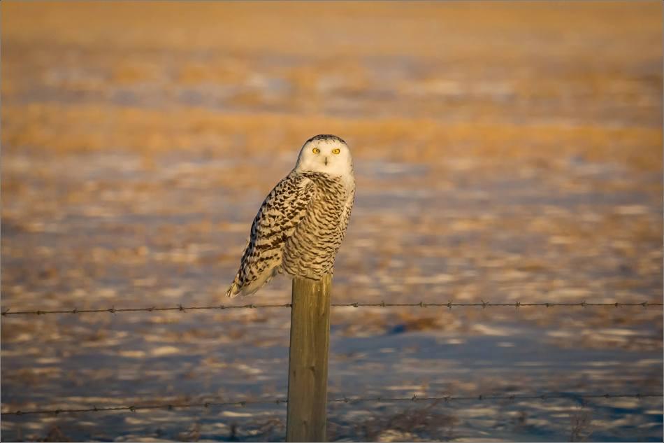 snowy-owl-in-flight-christopher-martin-9709