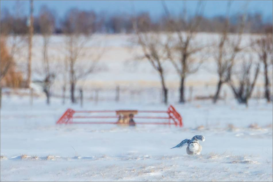 sunny-snowy-owl-flight-christopher-martin-8315