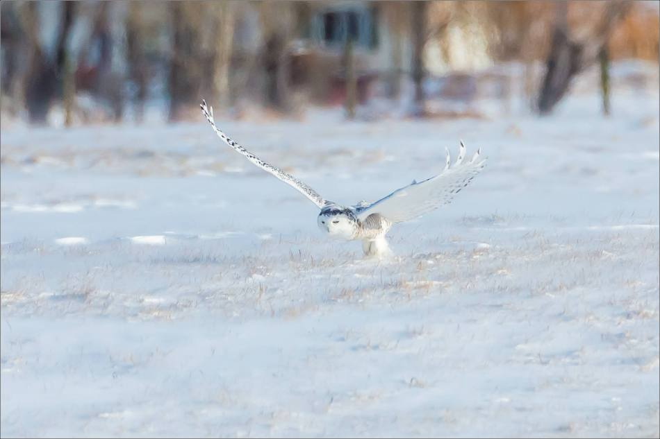 sunny-snowy-owl-flight-christopher-martin-8329