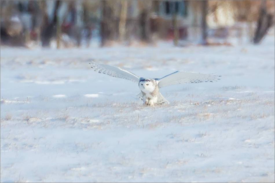 sunny-snowy-owl-flight-christopher-martin-8330