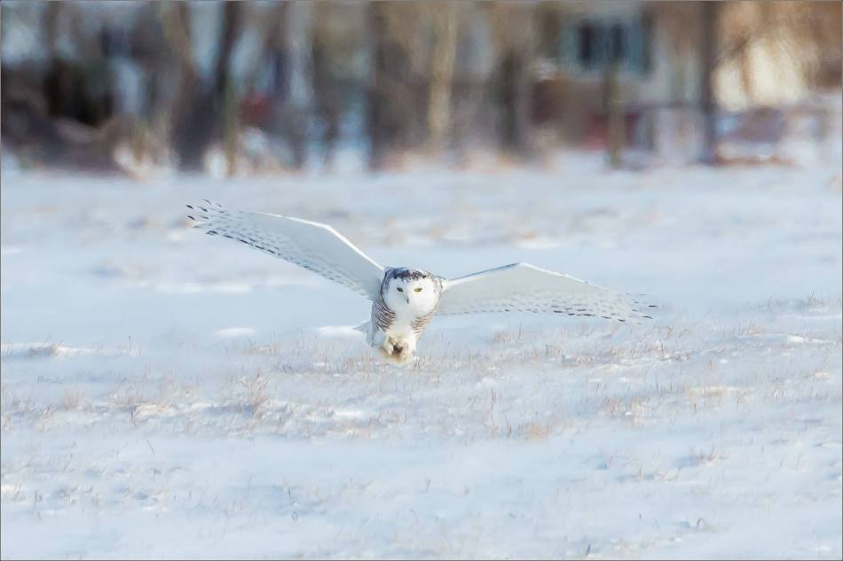 sunny-snowy-owl-flight-christopher-martin-8332