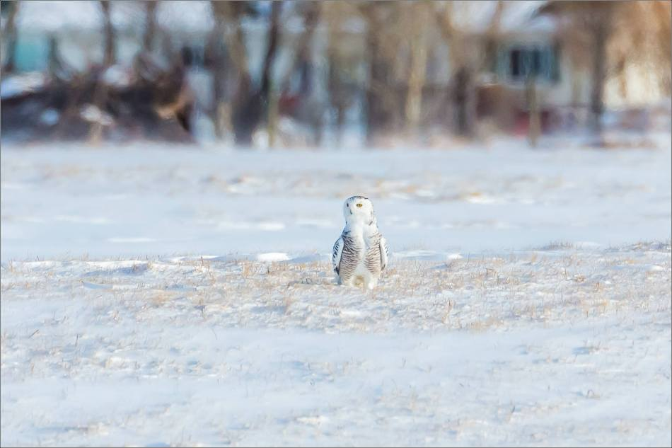 sunny-snowy-owl-flight-christopher-martin-8349