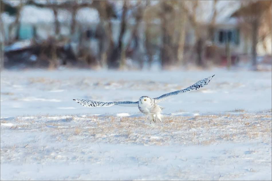 sunny-snowy-owl-flight-christopher-martin-8352
