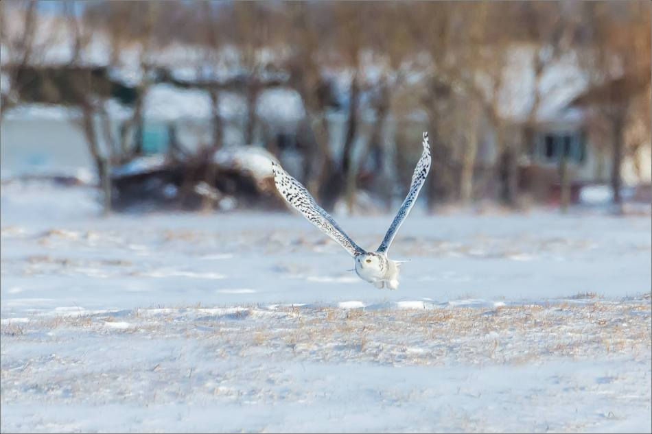 sunny-snowy-owl-flight-christopher-martin-8353
