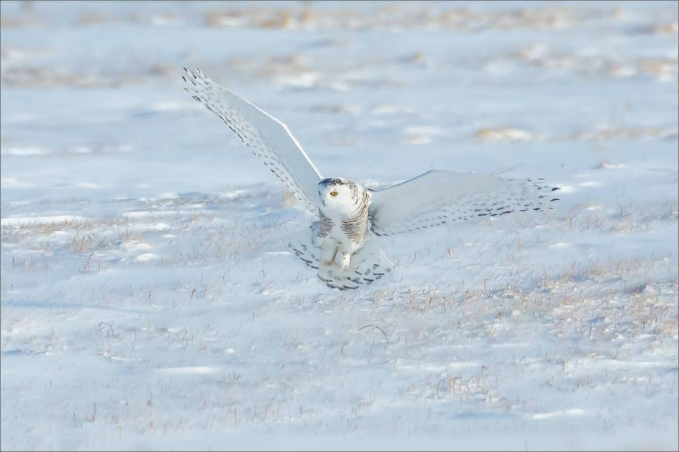 sunny-snowy-owl-flight-christopher-martin-8367-2