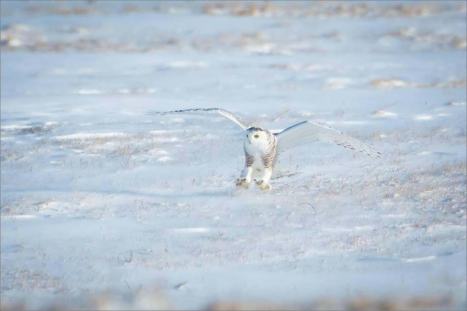 sunny-snowy-owl-flight-christopher-martin-8368