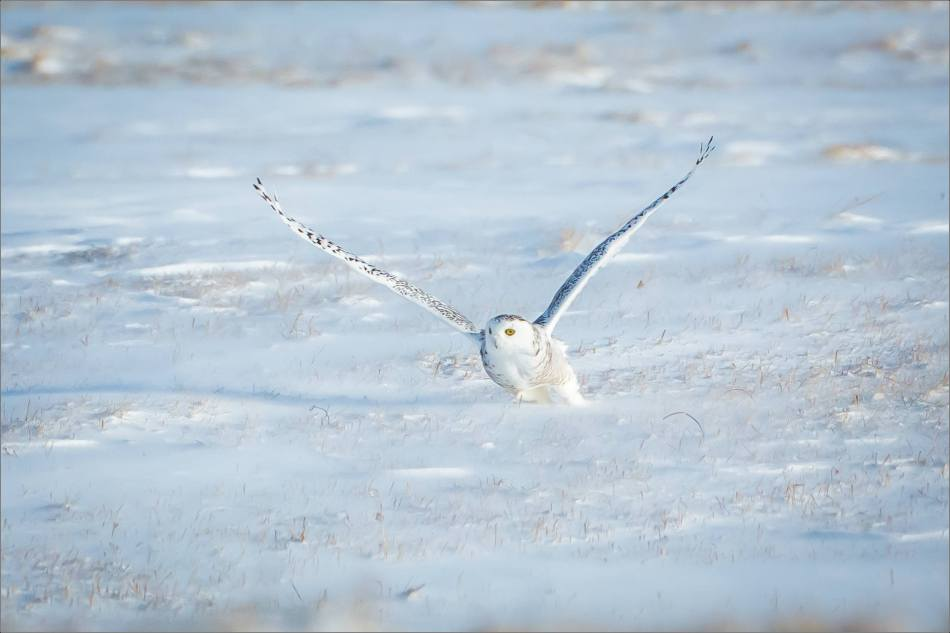 sunny-snowy-owl-flight-christopher-martin-8369