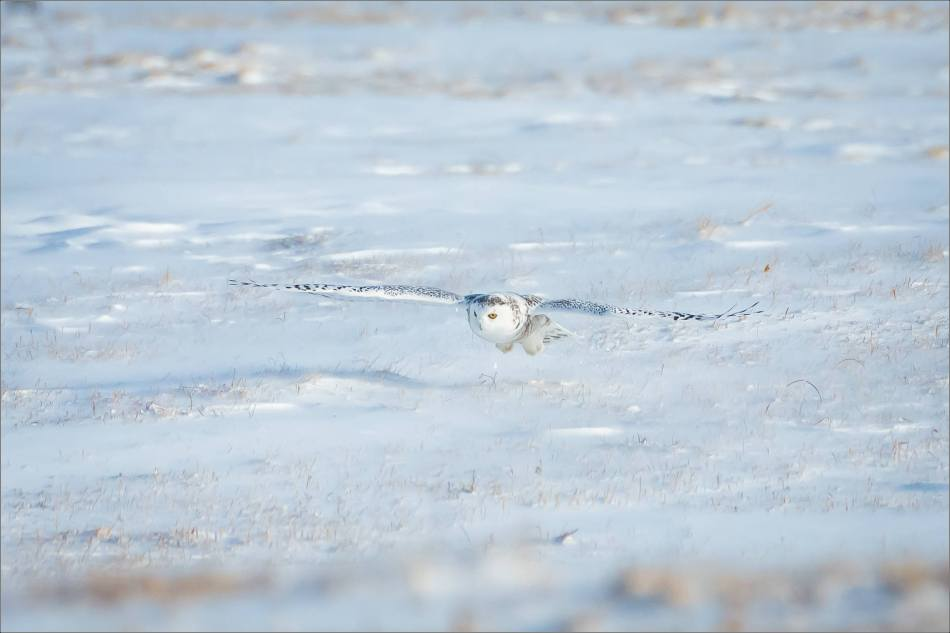 sunny-snowy-owl-flight-christopher-martin-8371