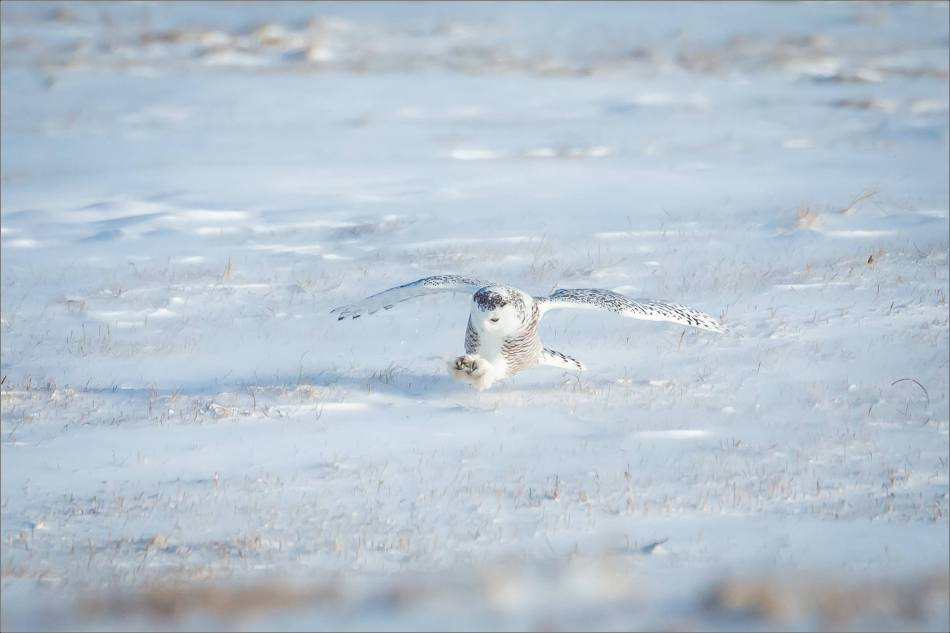 sunny-snowy-owl-flight-christopher-martin-8372