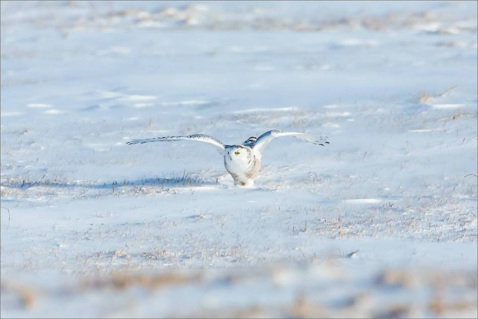 sunny-snowy-owl-flight-christopher-martin-8375