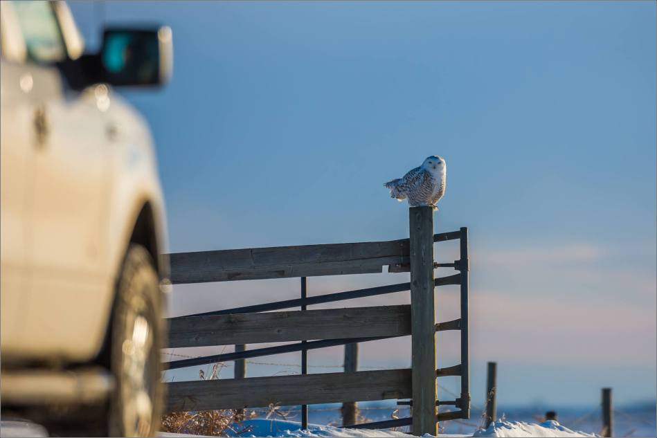 a-snowy-owl-perched-christopher-martin-3375