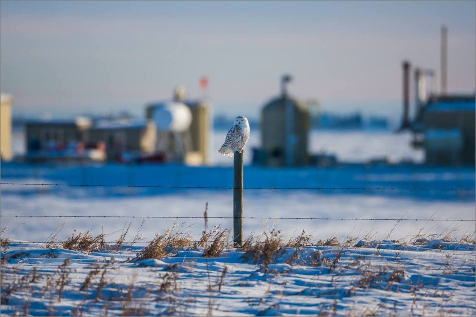 a-snowy-owl-perched-christopher-martin-3389