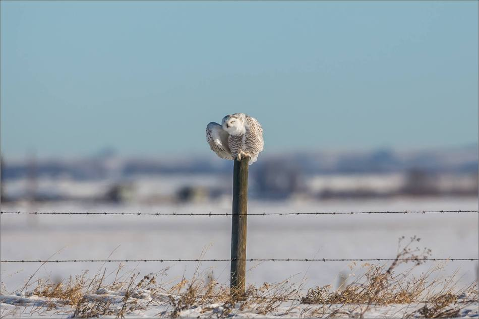 a-snowy-owl-perched-christopher-martin-3562