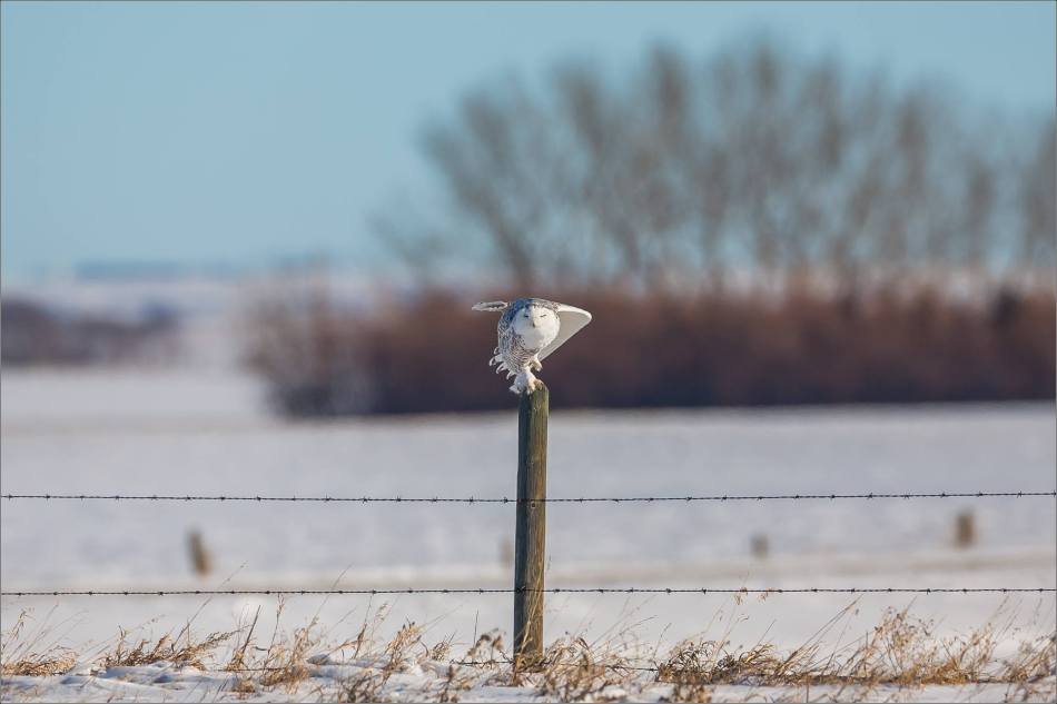 a-snowy-owl-perched-christopher-martin-3675-3