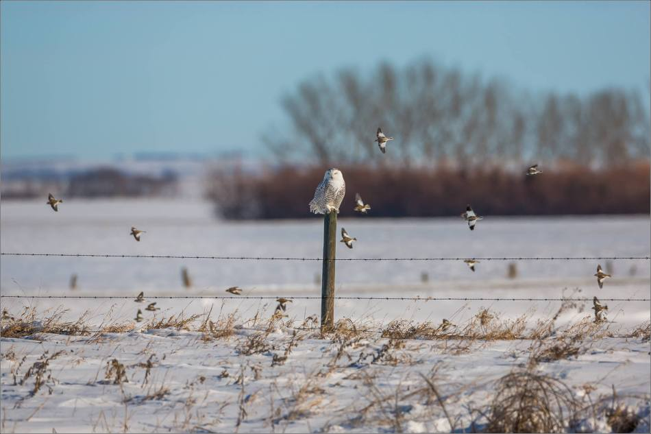 a-snowy-owl-perched-christopher-martin-3706