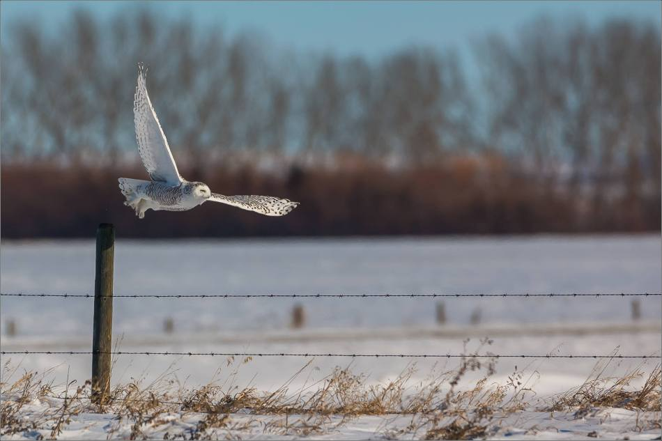 a-snowy-owl-perched-christopher-martin-3719