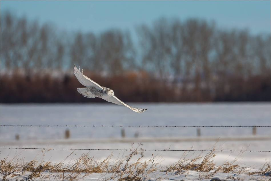 a-snowy-owl-perched-christopher-martin-3721